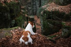 Dog in the rocks autumn in the woods. Jack Russell Terrier in nature. Active pet, healthy lifestyle. Dog in the rocks the autumn in the forest. Jack Russell stock photography