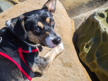 Dog and Rocks. Little dog is lying on the rock Royalty Free Stock Photo