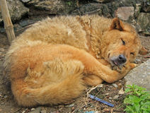 Dog rolled into a ball and have slept Royalty Free Stock Image