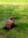 Dog Rolling Around in the Grass Royalty Free Stock Images