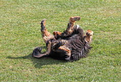 Dog rolling around Stock Images