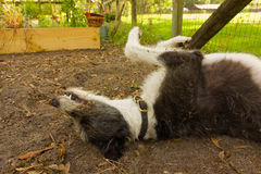 A dog rolling in the dirt at a farm in florida Royalty Free Stock Image