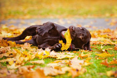 Dog rolling on fallen leaves Stock Photos