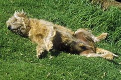 Dog rolling in grass Royalty Free Stock Photography