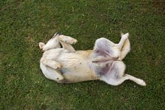Dog rolling on green grass Stock Images