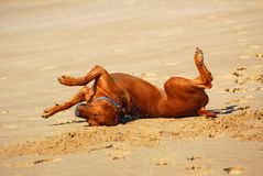 Dog rolling over Stock Photo