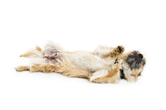 Dog Rolling Over On Back Stock Images