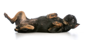 Dog rolling over Stock Image