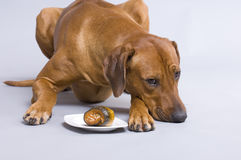 Dog with rollmops Stock Images