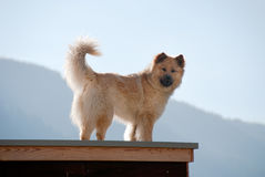 Dog on the roof Stock Image