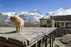 Dog on the roof in Himalaya mountains Royalty Free Stock Photos