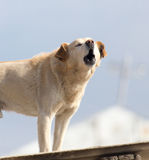 Dog on the roof of the house.  Stock Photo