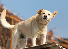Dog on the roof of the house.  Stock Photos