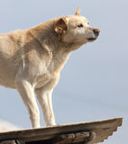 Dog on the roof of the house.  Royalty Free Stock Photography