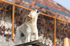 Dog on the roof of the house.  Stock Images