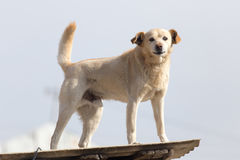 Dog on the roof of the house.  Royalty Free Stock Photo