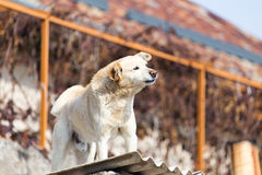Dog on the roof of the house.  Royalty Free Stock Image