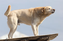 Dog on the roof of the house.  Royalty Free Stock Photos