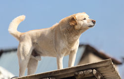 Dog on the roof of the house.  Stock Photography