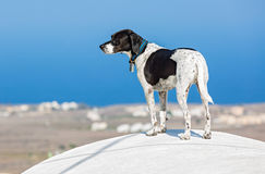 Dog on the roof of Santorini Royalty Free Stock Images