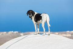 Dog on the roof of Santorini Stock Images