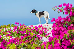 Dog on the roof of Santorini Royalty Free Stock Image