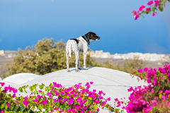 Dog on the roof of Santorini Stock Photos
