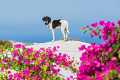 Dog on the roof of Santorini Stock Image