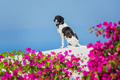 Dog on the roof of Santorini Stock Photo