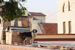 Dog on the roof Stock Photography