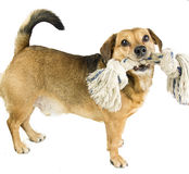 Dog and rope royalty free stock image