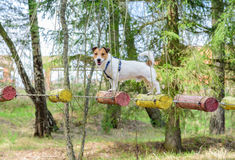 Dog during ropes course standing on high elements rope bridge. Low Ropes for team building training Royalty Free Stock Images