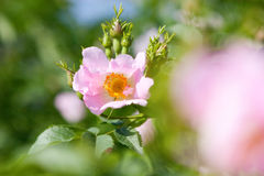 A dog-rose stock photos