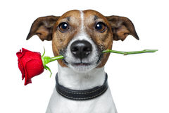 Dog with a rose Stock Images