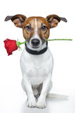 Dog with a rose Royalty Free Stock Photo