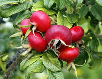 The dog rose. With red fruit Stock Photography