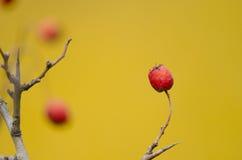 Dog rose. On yellow background Royalty Free Stock Image
