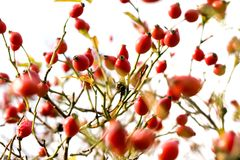 Dog rose. Bunch of dog rose isolated on white Royalty Free Stock Photo