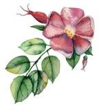 Dog rose Stock Image