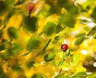 Dog-rose on abstract colorful background Stock Photography