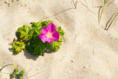Dog rose on a beach Royalty Free Stock Photography