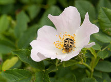Dog rose and beetle Stock Images