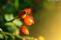 Dog-rose berries. Close-up of dog-rose. Dog rose fruits (Rosa canina) in a garden Stock Photography