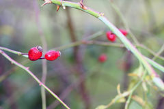 Dog rose berries  in garden Royalty Free Stock Image