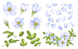 Dog-rose blooms. wild rose vector set. Dog-rose blooms. blue wild rose vector set Royalty Free Stock Image
