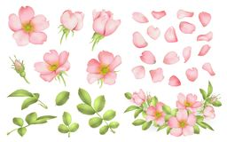 Dog-rose blooms. wild rose vector set. Dog-rose blooms. pink wild rose vector set Royalty Free Stock Image