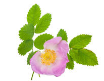 Dog-rose blooms Stock Photos
