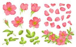 Dog-rose blooms. wild rose vector set. Dog-rose blooms. pink wild rose vector set Royalty Free Stock Photography