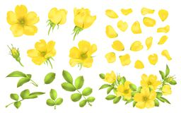Dog-rose blooms. wild rose vector set. Dog-rose blooms. yellow wild rose vector set Stock Photos