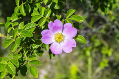 Dog rose blossoms, rosa canina, eglantine, dog-rose willd flower in nature, with green leaves Royalty Free Stock Photos